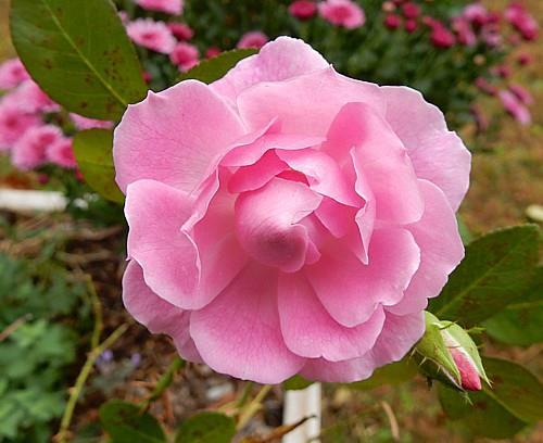 Rose from Margaret's Garden