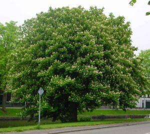 horse-chestnut-tree-4